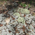 Reindeer Moss shows the clean environment