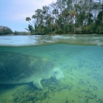 Swim with Manatees in Crystal River!
